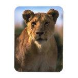 Leona de la hembra de los amantes del león imanes de vinilo