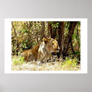 LEONA EN KENIA ÁFRICA PÓSTER
