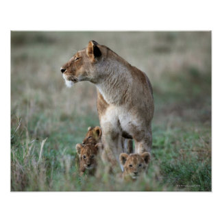 Leona (Panthera leo) y cachorros, Masai Mara Posters