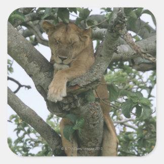 Leona que sube del árbol (Panthera leo), reina Pegatina Cuadrada