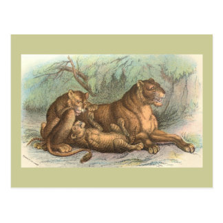 Leona y Cubs, Felis leo Postal