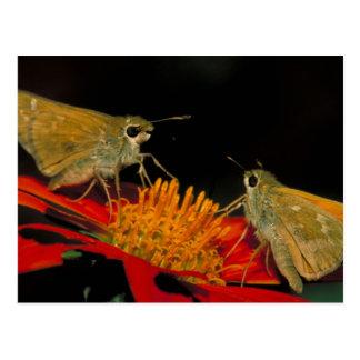 Leonard's skipper butterfly on Mexican sunflower Postcard