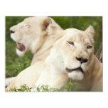 Leonas blancas invitación 10,8 x 13,9 cm