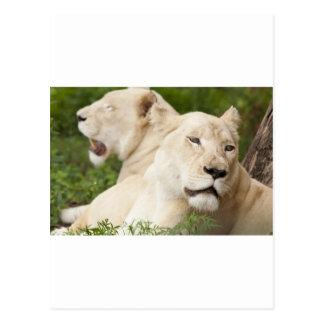 Leonas blancas tarjetas postales