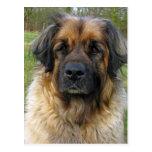Leonberger dog postcard, beautiful photo