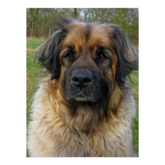 Leonberger dog poster, print, beautiful photo poster