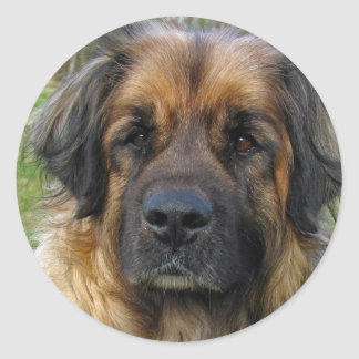 Leonberger dog stickers, beautiful photo, gift classic round sticker