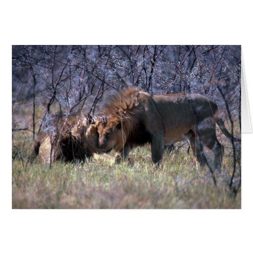 Leones africanos - dos varones grandes que saludan tarjeta de felicitación