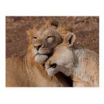 Leones en postal del amor