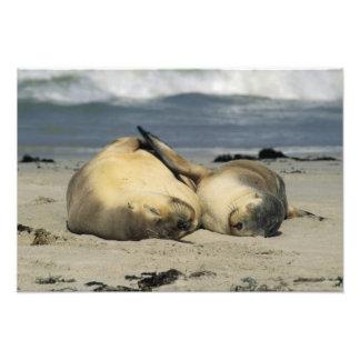 Leones marinos australianos, Neophoca cinerea), Fotografía
