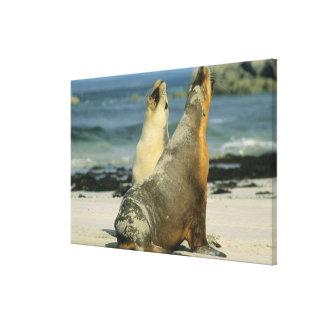 Leones marinos australianos, Neophoca cinerea), Impresiones En Lona Estiradas
