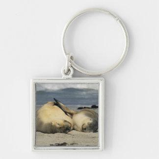 Leones marinos australianos, Neophoca cinerea), Llavero Cuadrado Plateado