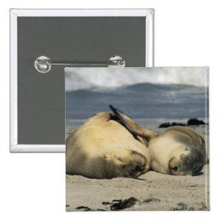 Leones marinos australianos, Neophoca cinerea), Pin Cuadrado