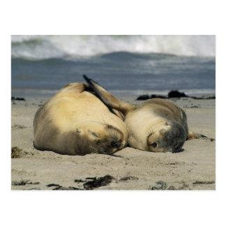 Leones marinos australianos, Neophoca cinerea), Postal