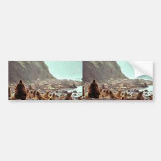 Leones marinos de Steller en Haulout Etiqueta De Parachoque