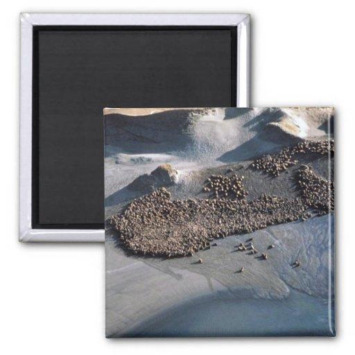 Leones marinos en Haulout - visión aérea Imán Cuadrado