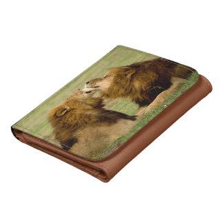 Leones masculinos (Panthera Leo) que preparan,