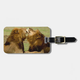 Leones masculinos (Panthera Leo) que preparan, Etiqueta De Maleta