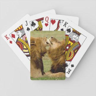 Leones masculinos (Panthera Leo) que preparan, Naipes