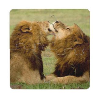 Leones masculinos (Panthera Leo) que preparan, Posavasos De Puzzle