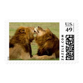Leones masculinos (Panthera Leo) que preparan, Sello Postal