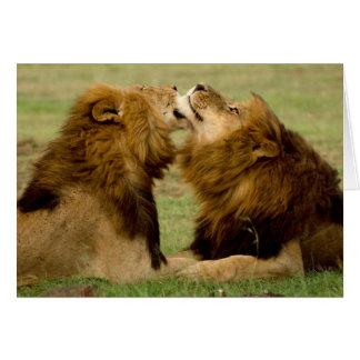 Leones masculinos (Panthera Leo) que preparan, Tarjeta De Felicitación
