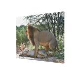 leones que se acoplan, Panthera leo, Kgalagadi Impresiones De Lienzo