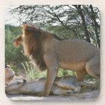 leones que se acoplan, Panthera leo, Kgalagadi Posavasos De Bebidas