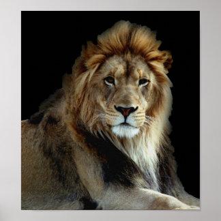 Leones salvajes del parque animal póster