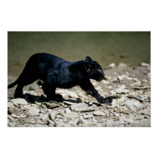 Leopard-black phase-cub (wet from river) poster