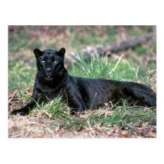 Leopard, black phase postcard