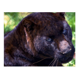 Leopard/black phase postcard