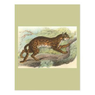 Leopard-Cat, Felis bengalensis Postcard
