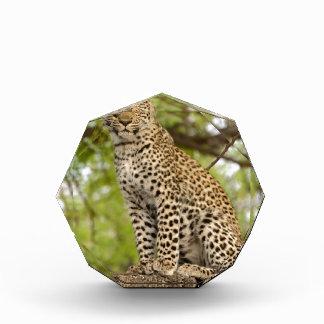 Leopard Cub on a Limb Award