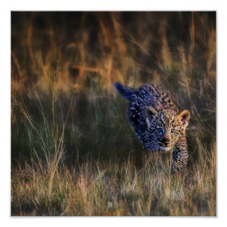 Leopard Cub Panthera Pardus) as seen in the Poster