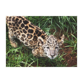 Leopard Cub Stretched Canvas Prints