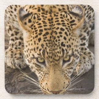 Leopard drinking, Greater Kruger National Park, Coaster