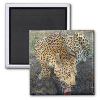 Leopard Drinking Water Magnet