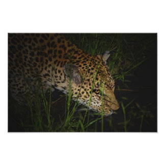 Leopard drinking wild poster, print, photograph