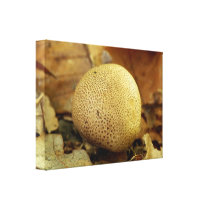 Leopard Earthball Fungus Canvas Print