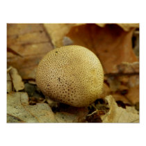 Leopard Earthball Fungus Poster