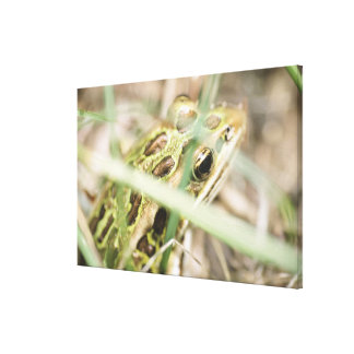 Leopard frog in grass gallery wrap canvas