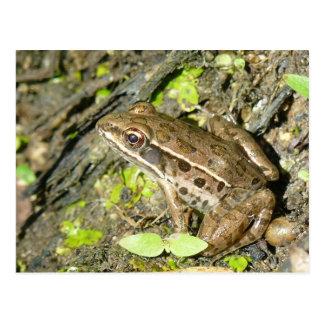Leopard Frog Postcard