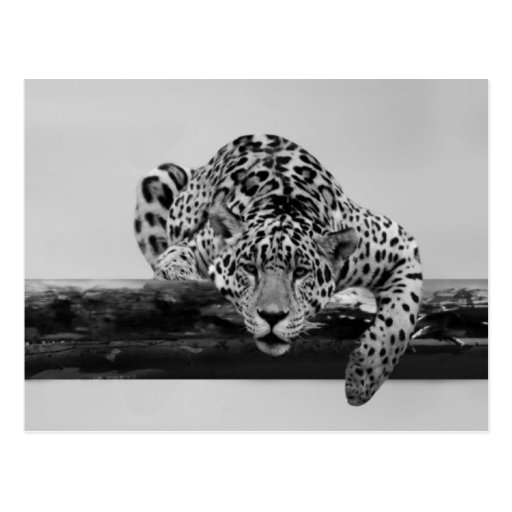 Leopard in black and white postcards