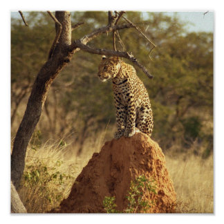 Leopard in Namibia, Africa Print