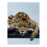 Leopard in the tree 1 postcards