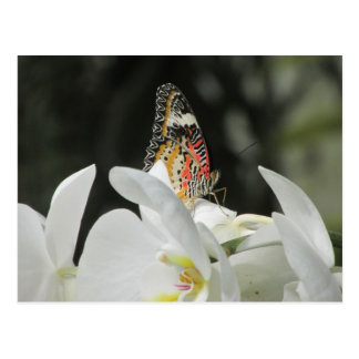 Leopard Lacewing Butterfly on White Orchid Postcar Postcard