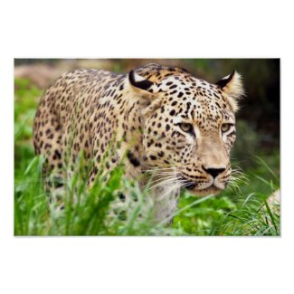 Leopard Looking at his Prey Poster