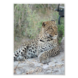 LEOPARD lying with crossed paws Photo Print