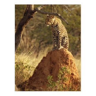Leopard on Termite Mound in Namibia Postcard